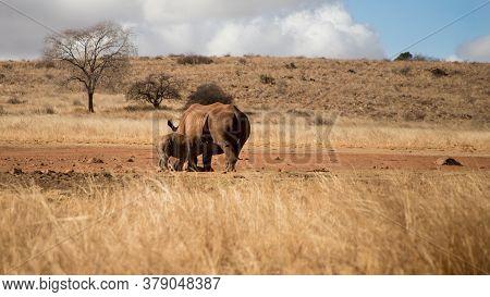 Rhino Baby Drinking Mother's Milk. Rhino Family. Safari Wildlife. Wild Animal In The Nature Habitat.