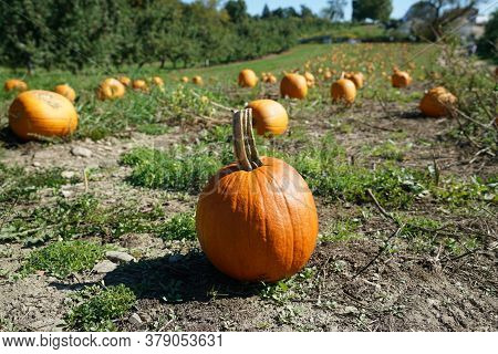 Pumpkins In The Field In The Harvest Season