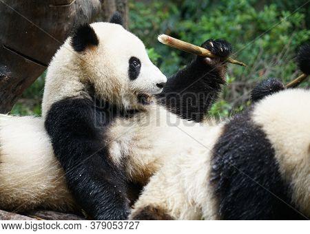 Giant Panda Sitting Outdoor Eating Bamboo Shoots