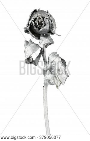 Silver Rose Isolated On White. Silver Dried Flower Head, Romance Concept. High Resolution Photo. Ful