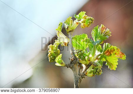 Spring Shoots Of Currant. Currant Seedlings. Young Sprout Of Currant. Growing Currant. High Resoluti