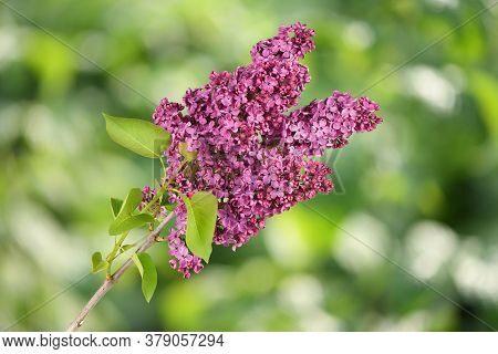 Spring Branch Of Blooming Lilac. High Resolution Photo. Full Depth Of Field.