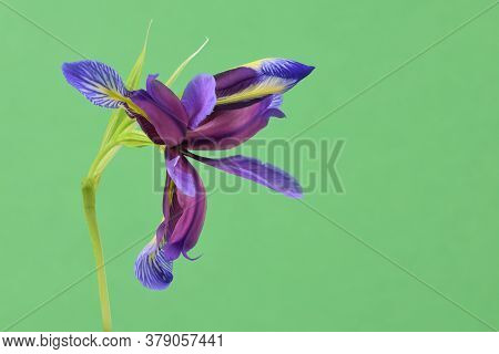 Purple Flower Of Iris Graminea Isolated On Green Background. High Resolution Photo. Full Depth Of Fi