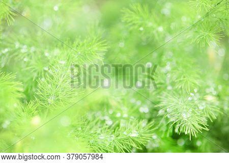Green Plant Asparagus Brachyphullus In The Garden. Macro Photo Of Dwarf Asparagus With Dew Drops. Hi
