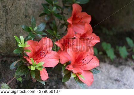 Close Up Of The Red Royal Azalea Flower Or Cheoljjuk In Korea Language Bloom Around The Garden.