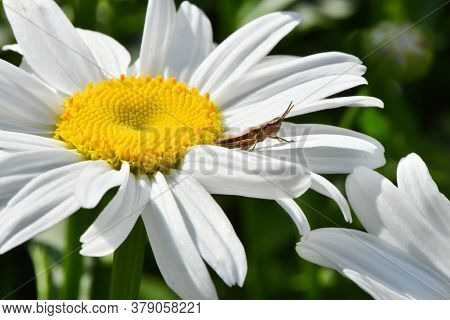 Grasshopper On A Camomile Flower. High Resolution Photo. Selective Focus. Shallow Depth Of Field.
