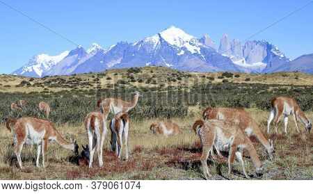 Scenic View To Fitz Roy Mountain In Argentina With Grazing Lamas In Foreground