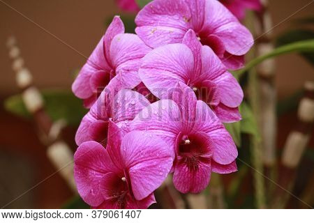 Close Up Photo Of Beautiful Purple Pink Orchid Inflorescence With Stem And Leaves.....