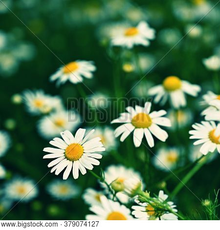 Beautiful Flowers - Daisies. Summer Nature Background With Flowers.