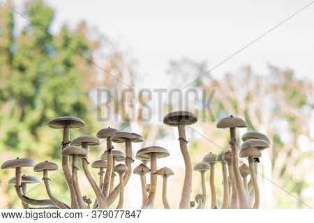 Fresh Psilocybin Shroom. Magic Shroom. Fungi Hallucinogen. Hallucinogenic Psychedelic Drug.