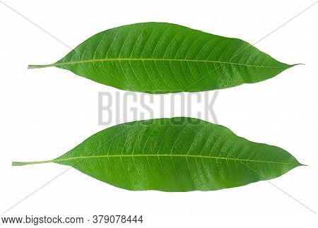 Mango Leaf With Water Drop Isolated On White With Clipping Path,top View
