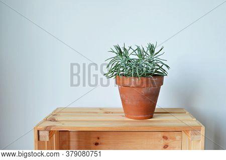 Senecio House Plant In Terracotta Pot On Wooden Box Over White