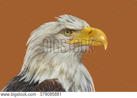 Head Of A Painted Bald Eagle On A Brown Light Background.