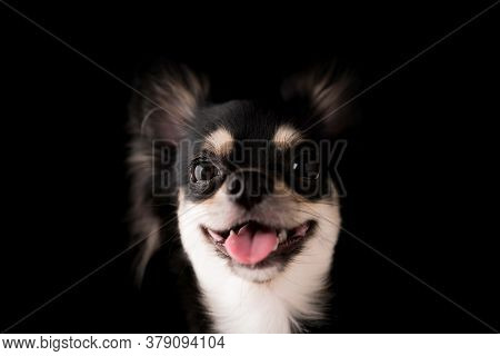 black hair chihuahua dog studio portrait on black background