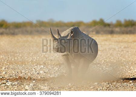 A black rhinoceros (Diceros bicornis) in the arid landscape of Etosha National Park, Namibia