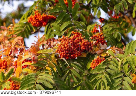 Rowan Berries On A Branch Sorbus Tree