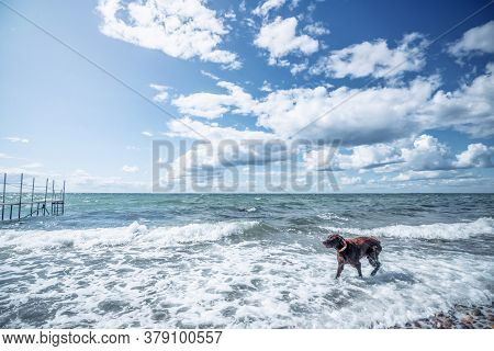 Brown Dog Active In A Cold Ocean With Waves On A Bright Day Under A Blue Sky