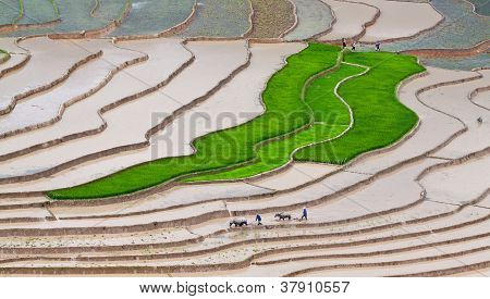 Two Farmers At Work, The Old Fashion Way, Plowing The Land With Buffalo, Terraced Rice Fields In Mu
