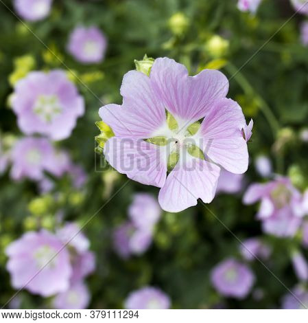 Althaea Officinalis, Or Marsh-mallow Plant With Flowers In The Field