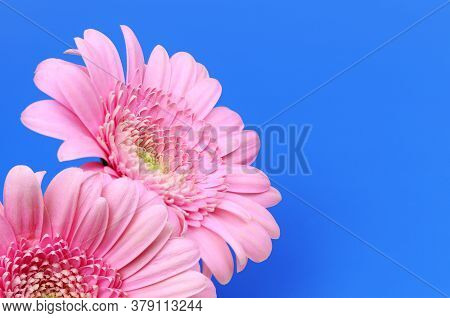 A Pink Flowers Isolated On Blue Background. Pink Flowers Isolated. Flat Lay. Copy Space. Postcard. P