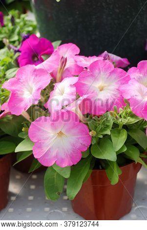 Petunia, Petunias In The Tray,petunia In The Pot, Neon Pink Petunia