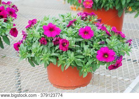 Petunia, Petunias In The Tray,petunia In The Pot, Dark Rose Petunia