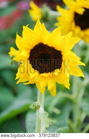Helianthus Annuus, Small And Potted Sunflowers. Dwarf Helianthus, Small Flower Size