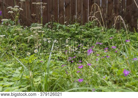 Dense Thickets Of Wild Herbs And Flowers By The Farm Fence, Rural Life, Outdoor Vacations, Seasons