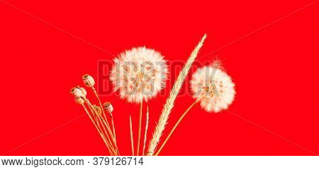 Red Background With White Inflorescences Of Dandelion And Dry Poppy. Creative Space For Design.