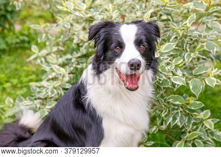 Outdoor Portrait Of Cute Smiling Puppy Border Collie Sitting On Grass, Park Background. Little Dog W