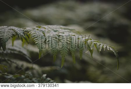 Ferns In The Forest.beautiful Ferns Leave Green Foliage. Close-up Of Beautiful Growing Ferns In The