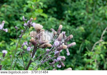 A Creeping Thistle With Lilac Florets And Fluffy Feathery Seeds