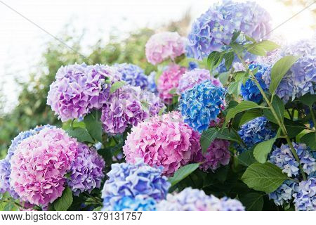 Hydrangea Flowers Garden. Pink, Blue, Lilac, Violet, Purple Bushes Blossom In Spring And Summer In T