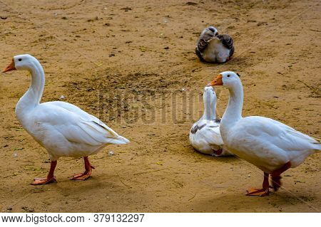 Close Up White Ducks Inside Lodhi Garden Delhi India, See The Details And Expressions Of Ducks Durin