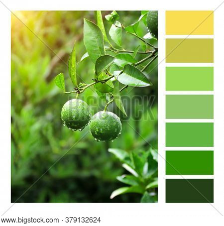 Color matching palette with complimentary colour swatches. Raindrops on green oranges. Unripe oranges on a tree branch with water drops