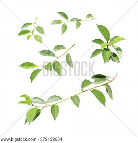 Set of branch with green leaves. Collection of green cherry twigs. Isolated on white background