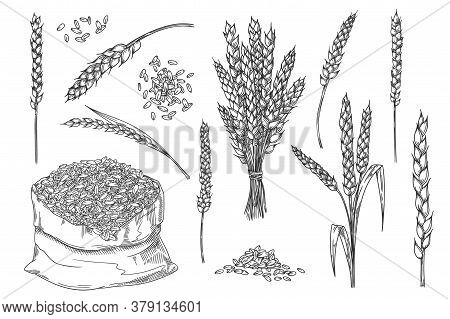Wheat Spikelet. Hand Drawn Isolated Bakery Design Element. Wheat Ear Spikelet, Grain Bunch, Seed In