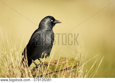 Close Up Of A Jackdaw Perching On A Wooden Post Against Yellow Background, Uk.