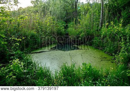Overgrown Water In The Swamp. Swamp In The Forest. Green Forest Lake Overgrown With Duckweed. Beauti