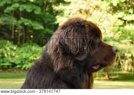 Terrific Chocolate Brown Newfoundland Dog Profile In The Summer.
