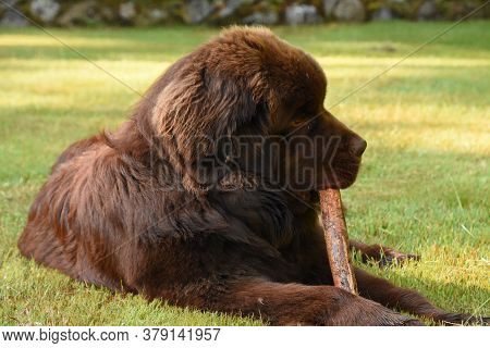 Giant Brown Newfoundland Dog Chewing On A Large Stick.