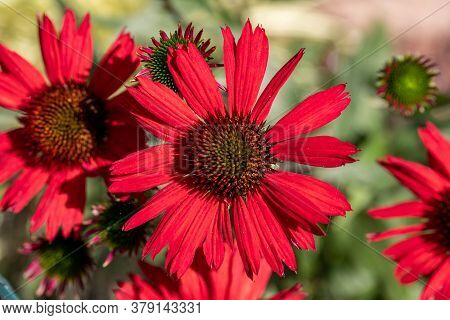 Flowers Of  Echinacea - An Herb Stimulating The Immune System