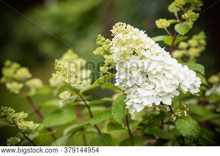 White Hydrangea Flower.abundant Hydrangea Limelight Paniculata , Hortensia Flowers, Beautiful Bush I