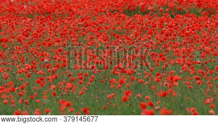 The wide view of poppies fields