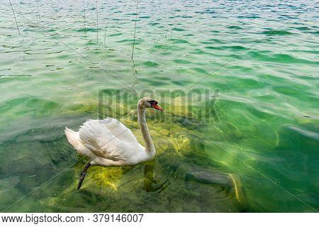 White Swan Swimming In A Lake, In National Park Krka, Dalmatia, Croatia