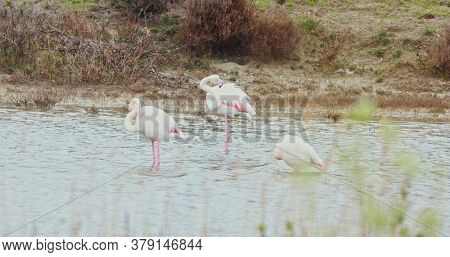 Wild flamingos standing in water. Europe, France