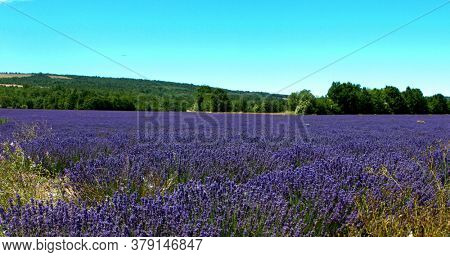 Purple field of lavender flowers background. Summer landscape in Provence.
