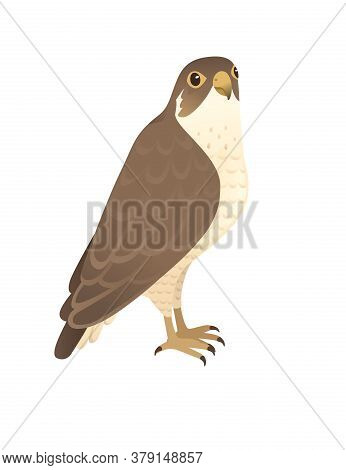 Predatory Bird Cute Adult Falcon Cartoon Animal Design Birds Of Prey Character Flat Vector Illustrat