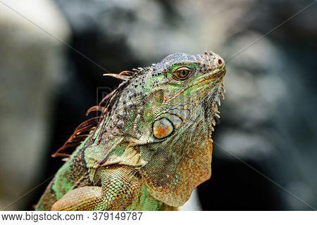 Close Up Head Of Iguana Dragon. Lizard Iguana, In A Cave Where Lizards Live. Iguana Dragon Close Up