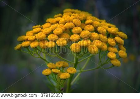 Tansy Tanacetum Vulgare Also Known As Common Tansy, Bitter Buttons, Cow Bitter, Mugwort, Or Golden B